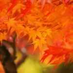 牛滝山・大威徳寺の紅葉の見ごろ、イベント、アクセス方法