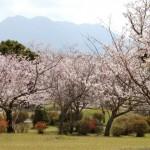 仙巌園(磯庭園)桜|お花見開花予想、見ごろ、イベント、アクセス
