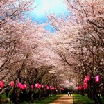 鹿児島忠元公園の桜|お花見開花予想/見ごろ/イベント/アクセス