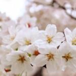高知鏡野公園の桜|お花見開花予想/見ごろ/イベント/アクセス