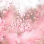 2016年北野天満宮の梅苑公開と梅花祭りについて
