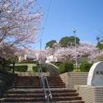 福岡県大将陣公園の桜|お花見開花予想/見ごろ/イベント/アクセス