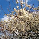 水戸偕楽園の梅祭りの見頃とイベント内容とアクセスについて