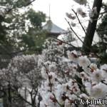 成田の梅まつりの見頃とイベント内容とアクセスについて