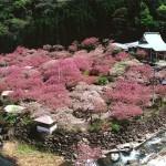 大分県一心寺の桜|お花見開花予想/見ごろ/イベント/アクセス