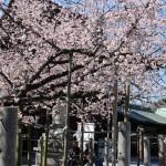 福岡県宮地嶽神社の桜|お花見開花予想/見ごろ/イベント/アクセス