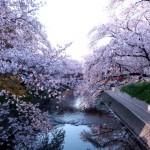 岩倉市五条川の桜|お花見開花予想/見ごろ/イベント/アクセス
