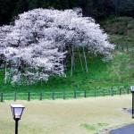 岐阜県臥龍公園の臥龍桜|お花見開花予想/見ごろ/桜祭り/アクセス