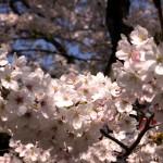 名古屋鶴舞公園の桜|お花見開花予想/見ごろ/イベント/アクセス