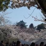 名古屋城・名城公園の桜|お花見開花予想/見ごろ/イベント/アクセス