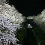 山崎川 四季の道の桜|お花見開花予想/見ごろ/イベント/アクセス