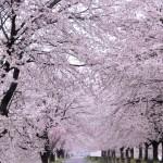 宮城県船岡城址公園の桜|お花見開花予想/見ごろ/イベント/アクセス