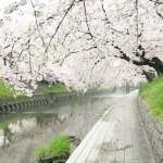 大口町五条川の桜|お花見開花予想/見ごろ/イベント/アクセス