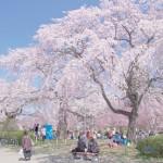 仙台榴岡公園の桜|お花見開花予想/見ごろ/イベント/アクセス