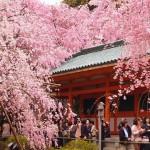京都平安神宮の桜|お花見開花予想/見ごろ/イベント/アクセス